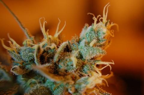 What are Terpenes & How Do They Promote Wellness?